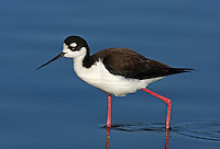 Black-necked Stilt (Himantopus mexicanus). Radio Road ponds. Redwood City, San Mateo Co., Calif.