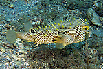 Chilomycterus schoepfi, Striped burrfish, Blue Heron Bridge, Florida