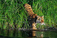 Bengal Tiger (Panthera tigris) entering pond.