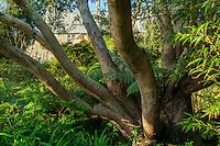 France, Manche (50), Vauville, Jardin botanique du château de Vauville, eucalyptus (Eucalyptus pauciflora) et fougères arborescentes