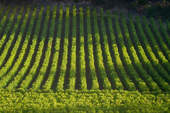 Vineyard near St. Helena