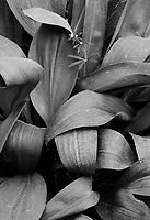 A single shoot of Bedstraw (Galium boreale) grows up between Wild Leek (Allium tricoccum) leaves on the forest floor, Warren Woods State Park, Berrien County, Michigan