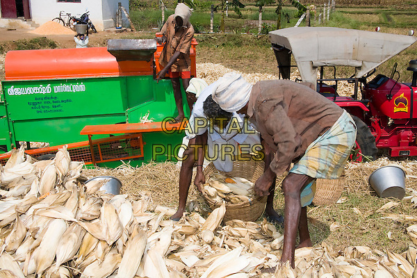 Farm labourers processing corn cobs to remove leaves, Tamil Nadu, India