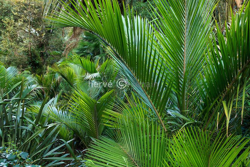 Le Domaine du Rayol:<br /> le jardin de Nouvelle-Z&eacute;lande avec poussant au bord du ruisseau, Ropalostylis sapida, palmier le plus austral.