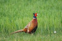 Ring-necked Pheasant, Phasianus colchicus, National Park Lake Neusiedl, Burgenland, Austria, April 2007