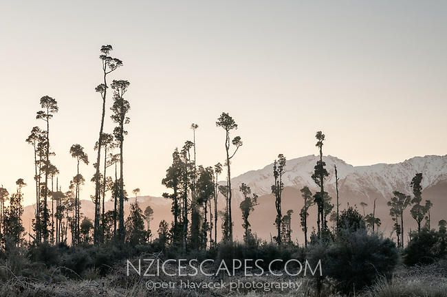 Sunrise over kahikatea trees near Lake Wahapo with winter Southern Alps in background, Westland Tai Poutini National Park, West Coast, UNESCO World Heritage Area, New Zealand, NZ
