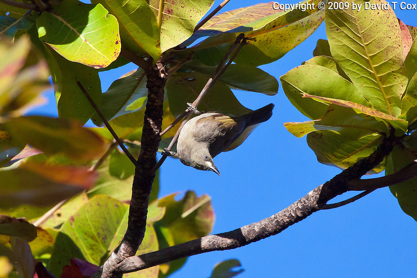 White Gaped Honeyeater, Townsville, Queensland, Australia