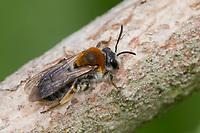 Rotschopfige Sandbiene, Rotfransige Sandbiene, Rotschwanz-Sandbiene, Sand-Biene, Sandbiene, Wildbiene, Weibchen, Andrena haemorrhoa, syn. Andrena albicans, Orange-Tailed Mining-Bee, Orange-Tipped Mining-Bee, female, mining bee, Andrenidae, Sandbienen, female, mining bees, burrowing bees, mining bee, burrowing bee