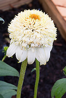 Double white flowers of Echinacea purpurea 'Milk Shake' aka 'Milkshake'