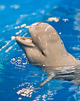 finless porpoise or sunameri, Neophocaena phocaenoides, feeding, found in coastal waters of Asia from Japan, China, Indonesia, India to Persian Gulf, captive