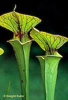 CA15-002b  Pitcher Plant - Sarracenia flava var. rugelii