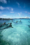 Galapagos Islands, Sea Lions, Ecuador, South America, World Heritage Site, Zalophus wollebaeki;