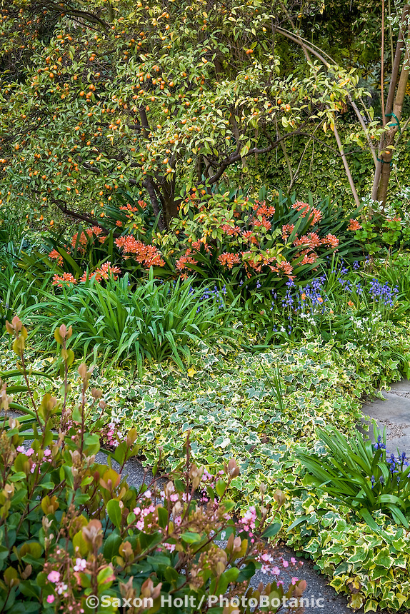 Southern California garden with citrus tree and colorful perennials, Kumquat, Ivy, Clivia