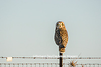 01113-01405 Short-eared Owl (Asio flammeus) on fence post Prairie Ridge State Natural Area Marion Co. IL