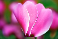 Close up of cyclamen.