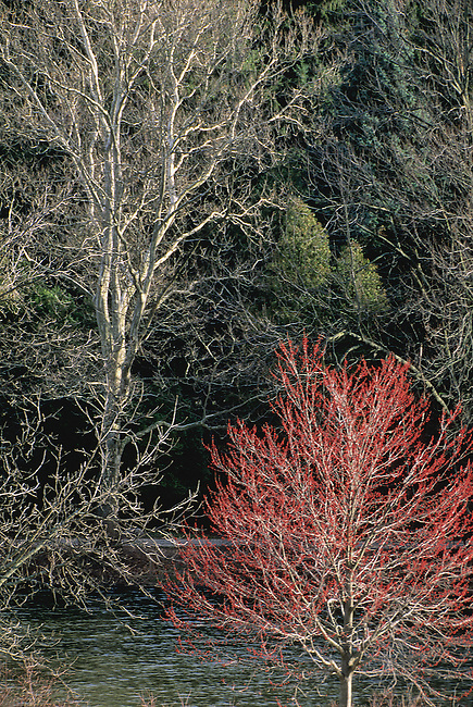 A Maple tree sprouts brilliant red leaf buds just prior to leaf out in the spring and contrasts againt the white branches of a Sycamore tree at the Morton Arboretum, DuPage County, Illinois.