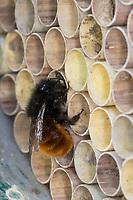 Gehörnte Mauerbiene, Weibchen am Nest, Neströhre, Niströhren, Niströhrchen, beim Verschließen der Röhre, Wildbienen-Nisthilfe, Wildbienennisthilfe, Osmia cornuta, European orchard bee, orchard bee, hornfaced bee, female, L'osmie cornue, Mauerbiene, Mauerbienen, Mason bee, mason bees