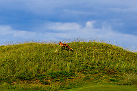 The Co. Louth Fox pays us a visit on the 15th during Round 4 of The East of Ireland Amateur Open Championship in Co. Louth Golf Club, Baltray on Monday 3rd June 2019.<br /> <br /> Picture:  Thos Caffrey / www.golffile.ie<br /> <br /> All photos usage must carry mandatory copyright credit (© Golffile | Thos Caffrey)