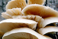 BRACKET or SHELF FUNGI (Polyporaceae)<br /> In this large group of fungi the fruit-body forms a characteristic shelf-like outgrowth from the trunks of trees from which they derive nourishment and slowly destroy.