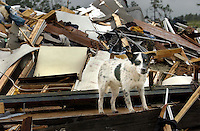 BLOUNTSTOWN, FL. 9/16/04-A dog stands on the remains of a home Thursday near Blountstown. Late Wednesday night a tornado spawned by Hurricane Ivan swept through the neighborhood killing four people and destroying several homes. COLIN HACKLEY PHOTO