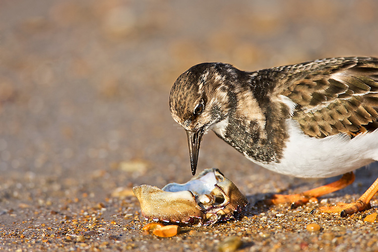 Ruddy Turnstone (Arenaria interpres) looking into crab shell, searching for little morsels Rye, East Sussex, UK. The Turnstone aptly named, it will flip stones of almost its own body weight has been recorded feeding on a very wide range of prey, including bird's eggs, chips and even corpses, in this case a crab shell.