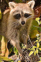 Racoon, nature, Hollywood, Florida, USA. Photo by Debi Pittman Wilkey