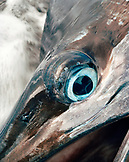 FIJI, Northern Lau Islands, the bright blue eye of a large Black Marlin