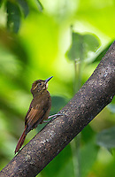 We saw this tawny-winged woodcreeper in Corcovado.