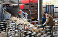 Loading lambs on to a lorry at Bakewell Livestock Market, Derbyshire.