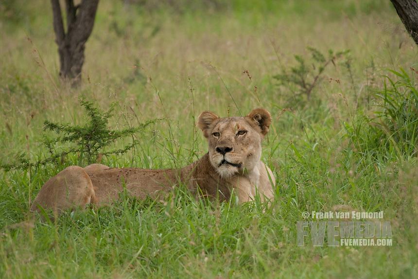Lioness  (Panthera leo).Conservation status: Vulnerable..Summer, December 2007.Hluhluwe Imfolozi Game Reserve, KwaZulu Natal, South Africa.