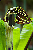 Arisaema triphyllum Jack in the Pulpit in spring flower native wildflower American
