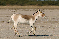 Asian Wild Ass Equus hemionus khur Length 2m. Endangered, donkey-like animal whose coat grades from orange-buff on the back to creamy white on the belly. A fast-running species, adapted to harsh, desert conditions. Indian subspecies is restricted to Rann of Kutch in Gujurat.