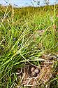 Skylark {Alauda Arvensis} eggs in nest. Isle of Mull, Scotland. June 2010.