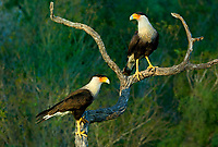 511580089 a wild pair of crested caracaras caracara plancus perch on a dead snag on a ranch in starr county texas