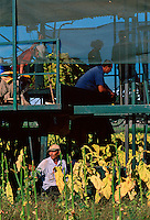 Harvesting Tobacco, (top l to r) Adrian Vecchio-Ruggeri, Vince Vecchio-Ruggeri, Melissa Taylor and Frank Vecchio-Ruggeri, and Peter Salerno (bottom), Vecchio-Ruggeri's Farm, Mareeba, 2003.