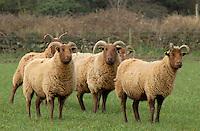 Manx Loaghtan ewes Isle of Man.