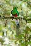 Male Quetzals