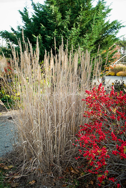 Ilex verticillata 'Red Sprite' in autumn fall berry berries fruits, Winterberry Holly with Sorghastrum nutans 'Sioux Blue' Indian Grass in autum fall straw color ornamental grass