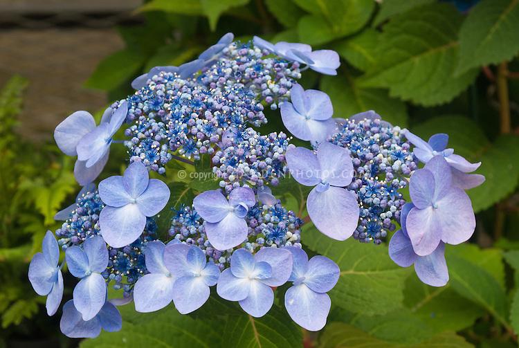 hydrangea endless summer twist n shout plant flower. Black Bedroom Furniture Sets. Home Design Ideas