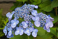 Hydrangea Stock Photos Pictures
