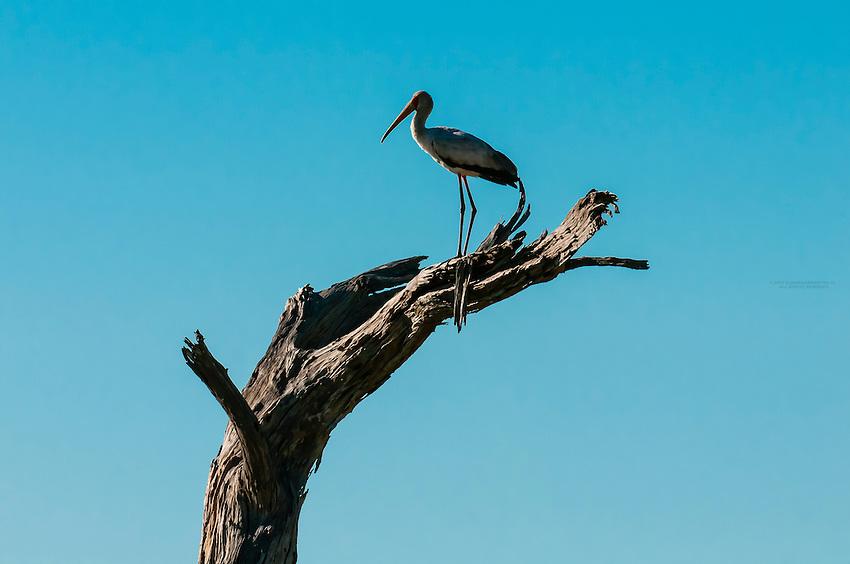 A Yellow Billed Stork standing on branch, Kwando Concession, Linyanti Marshes, Botswana. Kwando Concession, Linyanti Marshes, Botswana.