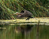 Slippery supper - plucky eel tries to give cormorant the slip by wrapping itself around bird's neck.