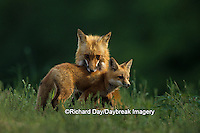 01871-01215 Red fox (Vulpes vulpes) adult with kit    IL
