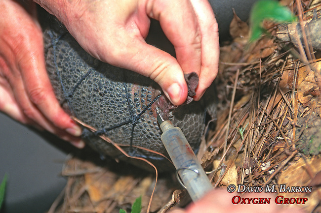 Taking Blood Sample Of Nine-banded Armadillo