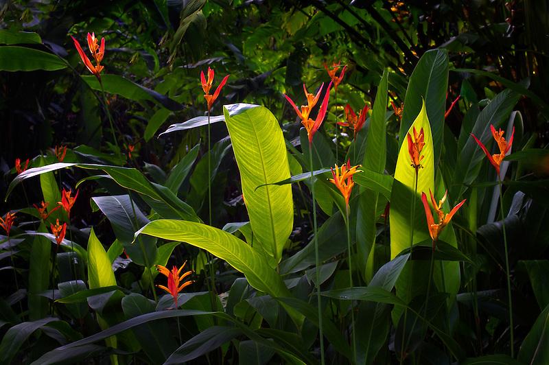 Heliconia flowers. Hawaii Tropical Botanical Gardens. Hawaii, The Big Island.