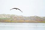 Brown Pelican (Pelecanus occidentalis) juvenile flying, Elkhorn Slough, Monterey Bay, California