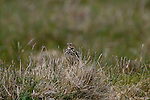 Skylark  - Alauda arvensis, in a field near the Cliffs of Moher, Clare, Ireland. It's crest is not visible in this photograph