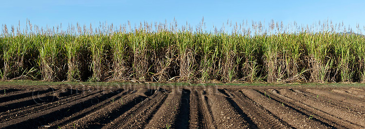 Sugar cane field near Cairns, Queensland, Australia