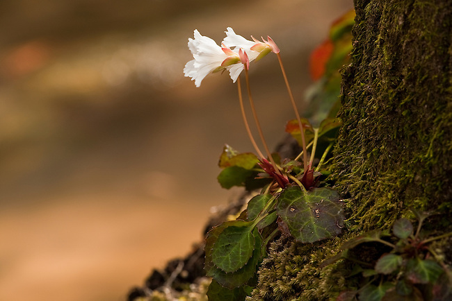 Oconee Bell (Shortia galacifolia), threatened and endangered