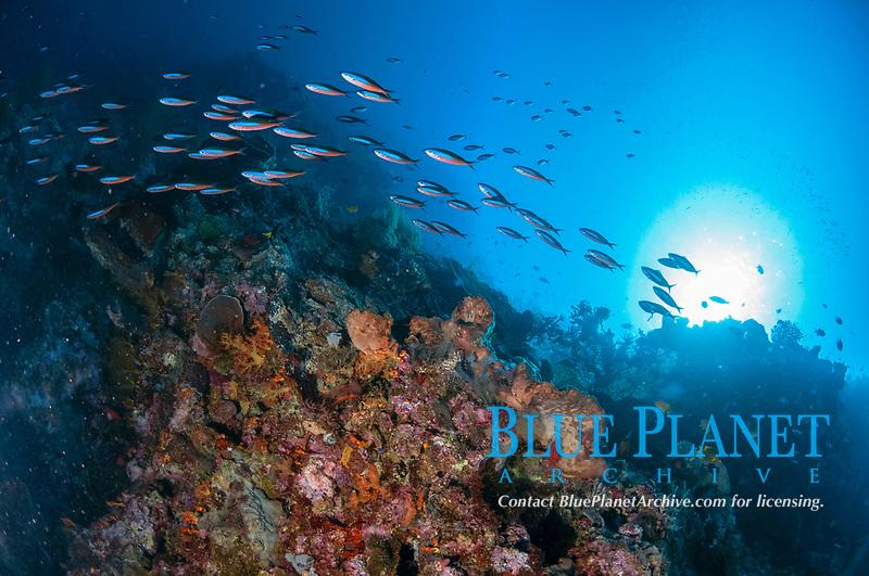 School of Bluestreak Fusiliers, Pterocaesio tile, swimming past reef with sun in background, Tutuntute dive site, near Uhak village, Wetar Island, near Alor, Indonesia, Banda Sea, Pacific Ocean